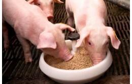 Статья «Особенности экструдирования зерна при вводе в корма для поросят»